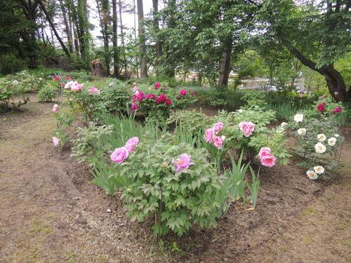 170610牡丹開花からぼたん祭り前日まで 042.JPG