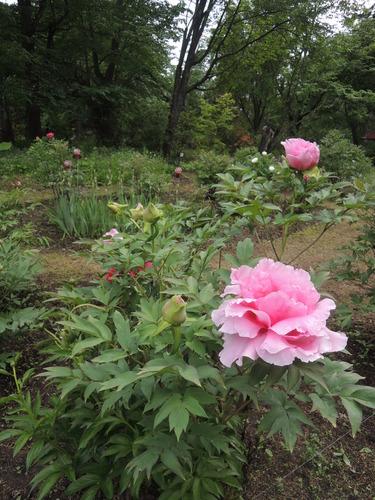 170610牡丹開花からぼたん祭り前日まで 044.JPG
