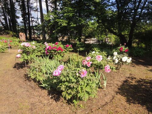 170610牡丹開花からぼたん祭り前日まで 055.JPG