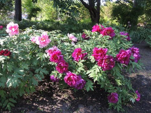 170610牡丹開花からぼたん祭り前日まで 064.JPG