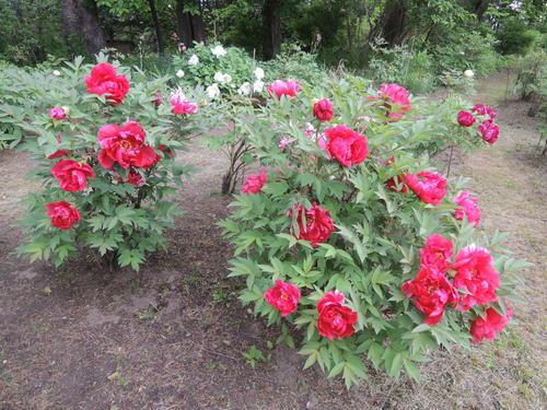 170610牡丹開花からぼたん祭り前日まで 069.JPG