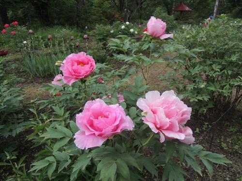 170610牡丹開花からぼたん祭り前日まで 070.JPG