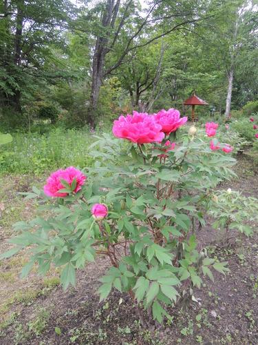 170610牡丹開花からぼたん祭り前日まで 071.JPG
